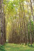 Para rubber tree plantation — Stock Photo
