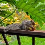 American gray squirrel — Stock Photo #13843689