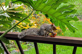 American gray squirrel — Stock Photo