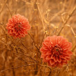 Two orange Dahlia Autumn flowers over brown branches background. - Stock Photo