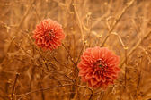 Two orange Dahlia Autumn flowers over brown branches background. — Stock Photo