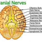 Постер, плакат: Cranial nerves