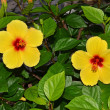 Hibiscus flowers — Stock Photo #12196439