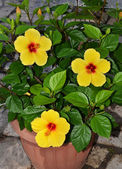 Yellow hibiscus flowers — 图库照片