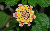 Verbena flower closeup — Stockfoto