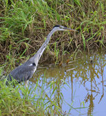 Blue heron in marsh — Stock Photo