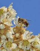 Fly feeding nectar on medlar flower — Stock Photo