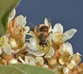 Fly pollinate on medlar flower — Stock Photo