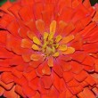Zinnia flower corolla — Stock Photo