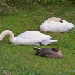 Swans and goose together — Stock Photo #16549717