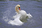 Swan splashing in water — Stok fotoğraf
