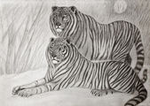 Siberian tigers couple — Stock Photo