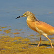 Crested heron walking — Stock Photo