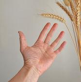 Hand utsträckt till öra av majs — Stockfoto