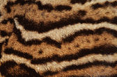 Ocelot fur stripes — Stock Photo