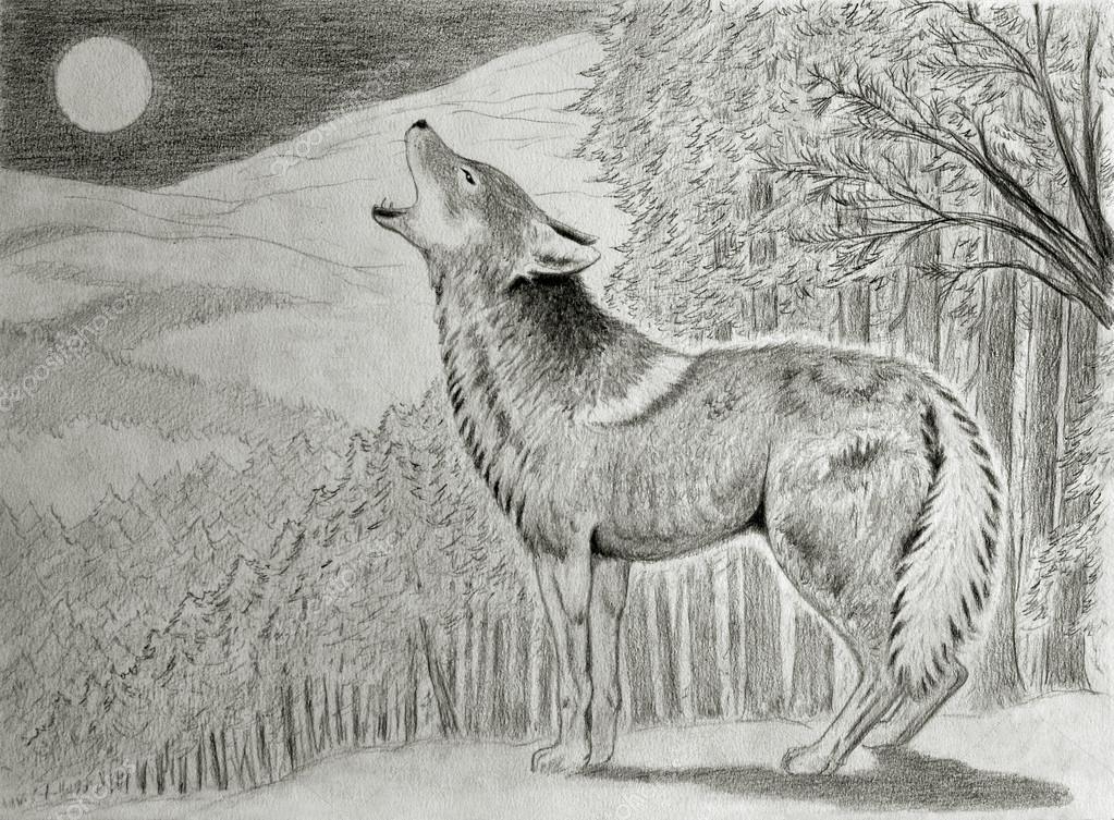 Coyote ulula alla luna foto stock nico99 31213111 for Lupo disegno a matita