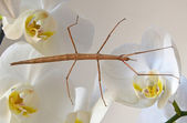 Stick insect on orchids — Stock Photo