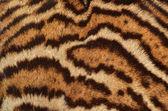 Leopard fur texture — Stock Photo