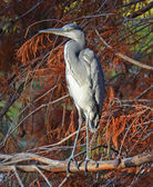 Blue heron portrait — Stock Photo