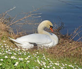 Swan in the nest — Stock Photo