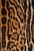 Jaguar skin closeup — Stock Photo