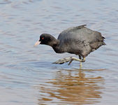 Coots couple in the marsh — Stock Photo