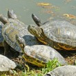 Water turtles family — Stock Photo #45100321