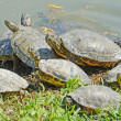 Water turtles family — Stock Photo #45100387