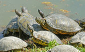 Water turtles family — Stock Photo