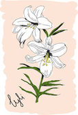 The drawn flower of a white lily — Stock Vector