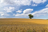 Wheat field and the lonely tree — Stock Photo