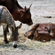 Animal community - Veals, Cow and Donkey - Stock Photo