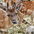 Close view of eating Spotted Deer - Stock Photo