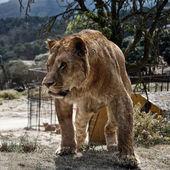Zły lwica — Zdjęcie stockowe