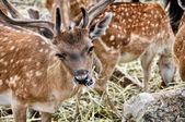 Close view of eating Spotted Deer — Stock Photo