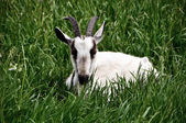 Goat lying in the grass — Stock Photo