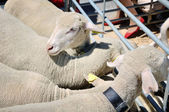 Close view of sheep in sheepfold — Stock Photo
