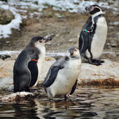 Penguins in zoo — Stockfoto