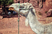 Camel in the desert, Morocco — Stock Photo