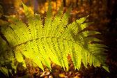 Beautiful autumn fem detail — Stock Photo