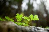красивый зеленый клевер крупным планом — Стоковое фото
