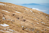 Group of mountain chamois in Tatry mountains — Stock Photo