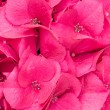 Stock Photo: Hydrangeflower or blossom close up