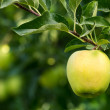 Golden delicious apple hanging on tree — Stock Photo