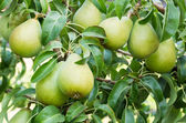 Ripe Bartlett pears on the tree — Stock Photo