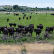 Herd of black cows gathers for feeding — Stock Photo #15354903