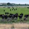 Stock Photo: Herd of black cows gathers for feeding