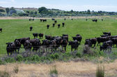 Herd of black cows gathers for feeding — Stock Photo