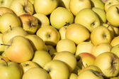 Freshly harvested Golden Delicious apples — Stock Photo