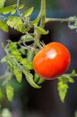 Fresh red tomato ready to pick — Stock Photo